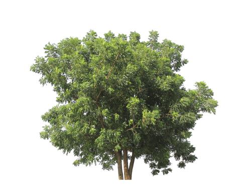 Rosewood Essential Oil (Aniba Rosaeodora)