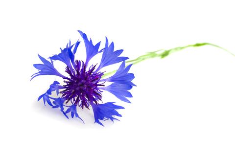 Cornflower Petals