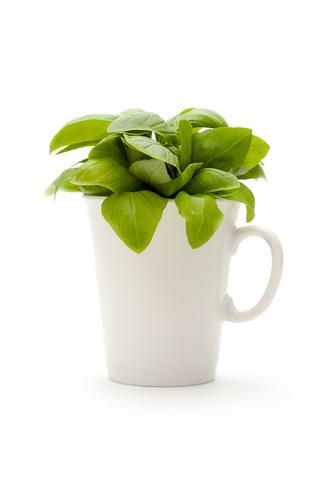 Basil Essential Oil (Ocimum Basilicum)