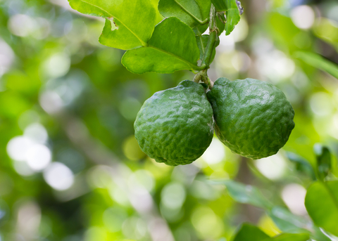 Bergamot Essential Oil (Citrus Begamia)