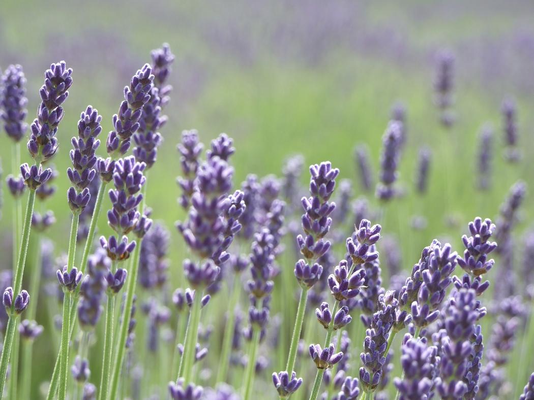 Lavender Flowers (Lavendula Angustifolia Flowers)