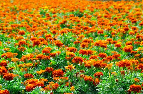 Marigold Tagetes (Tagetes Erecta)