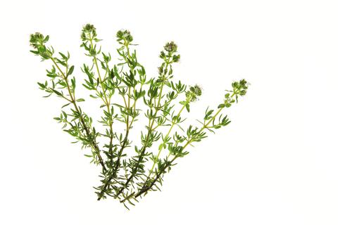 Thyme Essential Oil (Thymus Vulgaris)