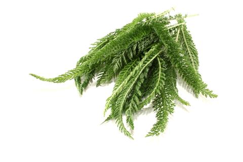 Yarrow Essential Oil (Achillea Millefolium)